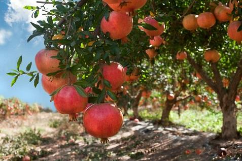 melograno_coltivazione_varieta_cultivar.jpg