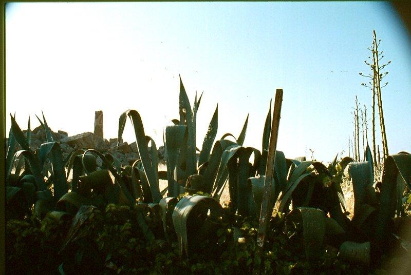 SELINUNTE 11 resti del  tempio G poco visibile dietro agavi con unica colonna in piedi.jpg