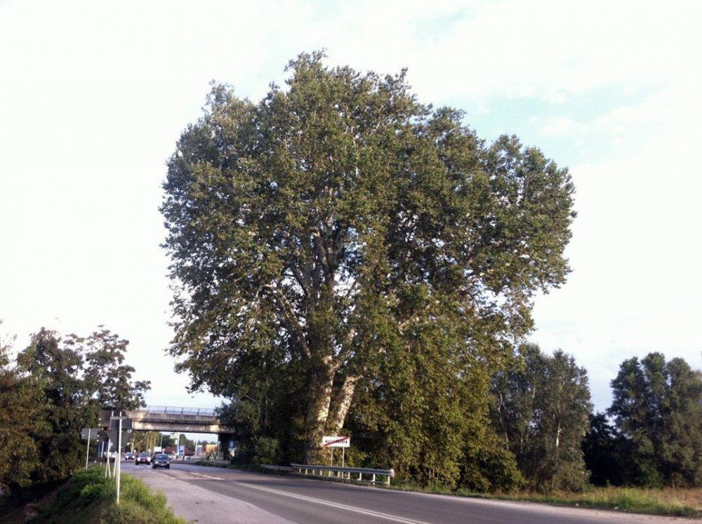 34220_albero-di-napoleone.jpg